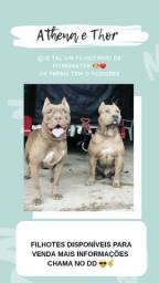 Filhotes de pitbull disponível