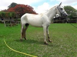 Belíssima égua Mangalarga Marchador tordilha
