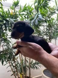 Filhotinhas Basset hound femeas