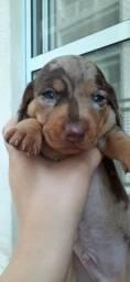 Filhote de dachshund arlequim macho