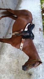 Potro filho de ruda zorrero papel 3/4,egua meio sangue s/papel buxuda de cavalo puro.