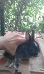 Mini coelho anão Netherland Dwarf OB