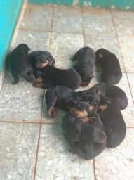 Filhote de rottweiler  pedigree