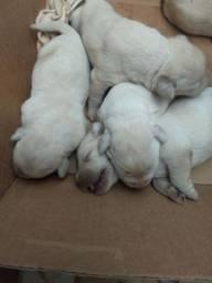 Labrador ( PUROS com pedigree)