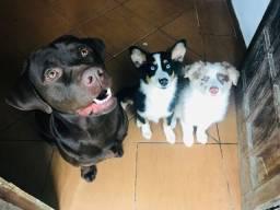 (Adestramento) (educação de filhotes de cães)