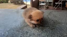 Perfeito e miniatura lulu anão ursinho raridade de encontrar PREÇO IMPERDÍVEL