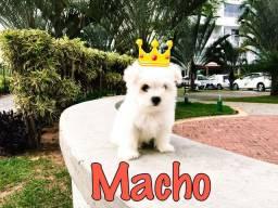 Maltês Macho Ursinho