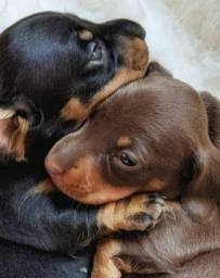 Cachorrinhos Duchshund/ basset/ salsicha