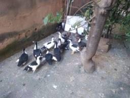 Patos e galinha marreco