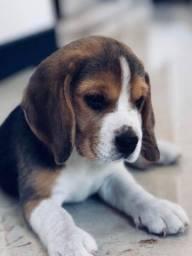 *^^ beagle filhote porte pequeno com vacina importada e pedigree