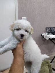 Filhote de poodle Toy fêmea pronta entrega