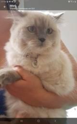 Mocura namorado (não está a venda) gata persa
