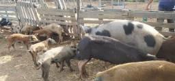 Vende-se porcos / bacorinhos