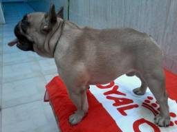Bulldogue frances disponivel para cobertura para cobertura whtas *