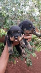 Lindos bebês Rottweiler cabeça de touro para ( Reservar )