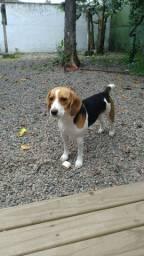 Beagle 1 ano