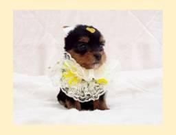 Filhote de yorkshire mini fêmea à pronta entrega na nossa loja - Fotos reais