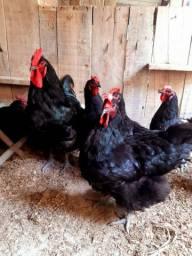 Disponível pintos,frangos e frangas gigante negro de jersey