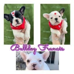 Bulldog Fracês com pedigree e microchip em até 18x