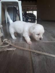 vendo cachorros lhasa apso com poodle toy