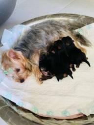 Yorkshire terrier fêmeas à venda