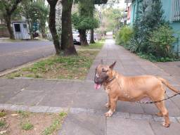 Bull Terrier (fêmea adulta)