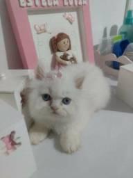 Gato Persa Branco Olhos Azuis Filhotes* Vacinados *