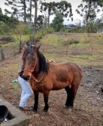 Cavalo criolo pitiço