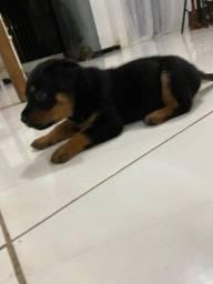Rottweiler 1 mês de vida