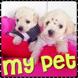 Poodles lindos e minúsculos com pedigree