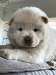 Chowchow exotica bluy