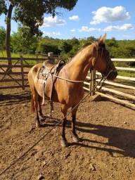 Cavalo mangalarga novo