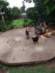 Casal de peru