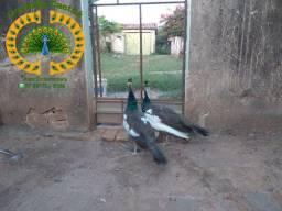 Filhotes de pavão