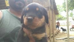 Vendo filhotes de rottweiler puros R$ 400