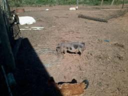 Cabras e mini porcos