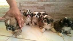 Shih Tzu filhotes com garantia e contrato 27 99668-1558