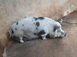 Vendo porcos e leitões