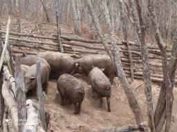 Porcos Vivos para Abate
