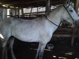 Vendo cavalo crioulo com mangalarga