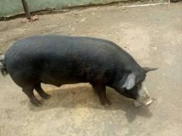 Porco Reprodutor
