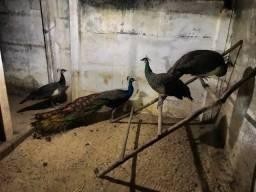Vendo galinhas azul