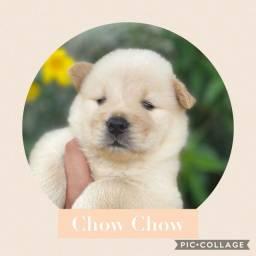 Chow Chow com pedigree e microchip em ate 18x