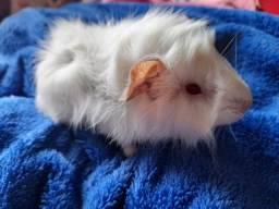 Porquinho da Índia raça abissinio albino dos olhos vermelhos