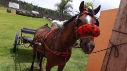 Vendo cavalo mestiço argentino