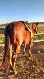 Cavalo Quarto de Milha Barato
