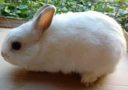 Vendo coelho Raça Netherland