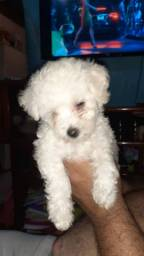 Poodle fêmeas 1 com toy pedigree 1400 12x