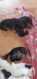Cachorros Salchicha misturados com Pooldo