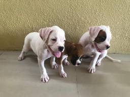 Cachorro Boxer Puro